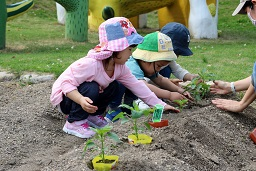 夏野菜の苗植え (21)