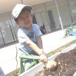 タマネギ収穫 (65)