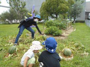 スイカの収穫 (5)