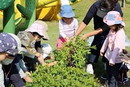 元気の木保育室(落花生の収穫) (6)