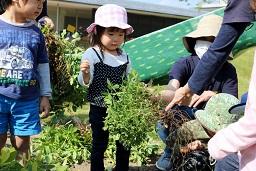 元気の木保育室(落花生の収穫) (12)