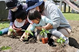 20210415_元気の木保育室 夏野菜の苗植え (17)