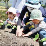 20210415_元気の木保育室 夏野菜の苗植え (24)