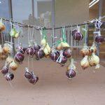 タマネギの収穫 (15)