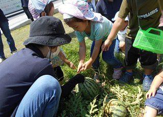 スイカの収穫 1 (3)